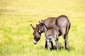 stock photo of burro  - A mother and baby burro in a green field in Custer State Park South Dakota - JPG