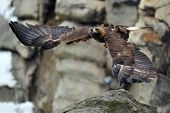 Flying Golden Eagle With Rock In Background