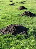 stock photo of pest control  - Molehills in grass - JPG