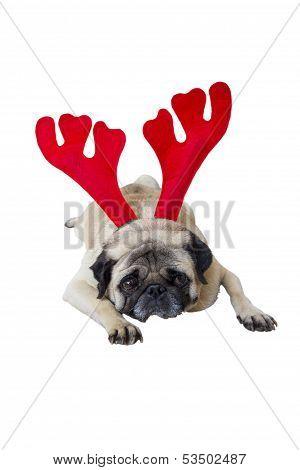 Beige Pug Wearing Christmas Attire 7
