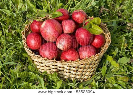 Basket Of Red Ripe Apples On Green Grass