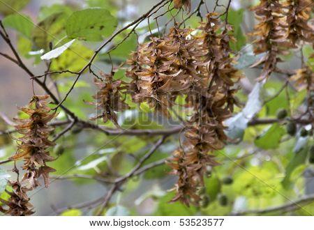 Hornbeam Seeds Detail