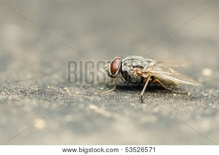 Common Housefly With Red Eyes