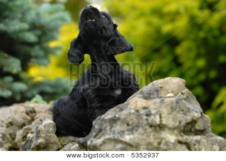 Cocker Spaniel Puppy Howling On A Rock