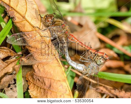 Two Dragonflies Reproduction