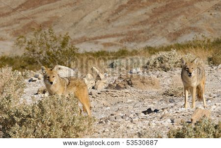 Coyotes in Death Valley National Park