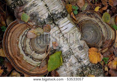 Autumn - polypore..