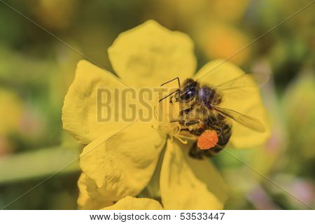 Honey Bee Collects Nectar On A Yellow Flower