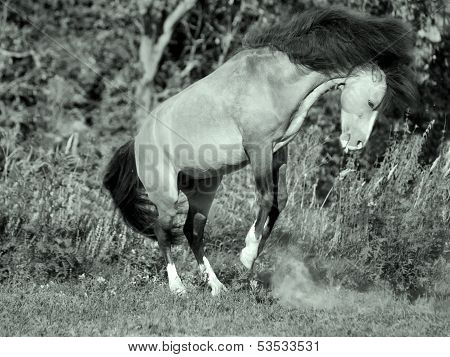 Buckskin Welsh Pony In Motion