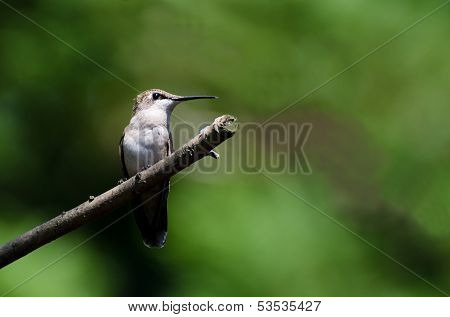 Alert Ruby-Throated Hummingbird Perched