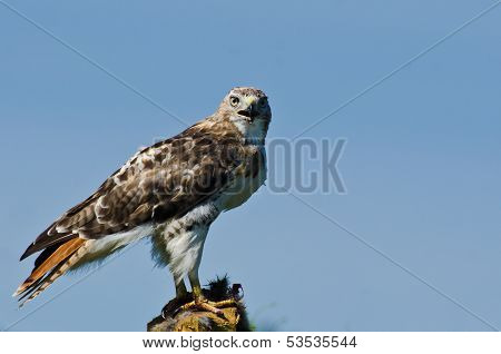Red-tailed Hawk Making Eye Contact