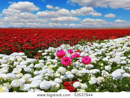 Boundless rural field with flowers. White garden buttercups are combined with bright red and pink flowers ranunculus. Cumulus clouds float across the sky