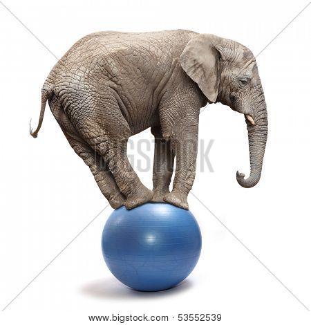 African elephant (Loxodonta africana) balancing on a blue ball.