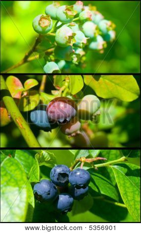 Blueberry Growth