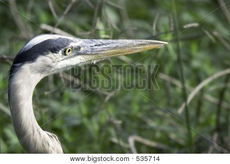 Great Blue Heron Profile