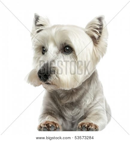 Front view of a West Highland White Terrier lying, isolated on white
