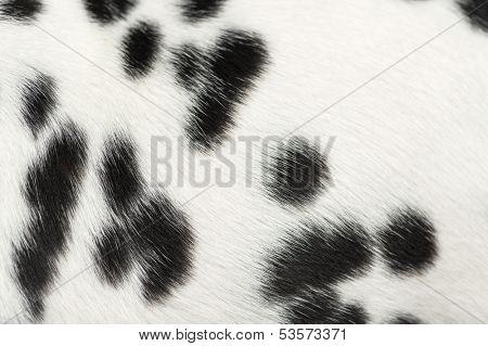 Macro of a Dalmatian puppy fur