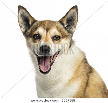 Close-up of a Norwegian Lundehund panting, isolated on white