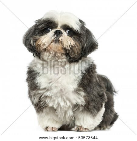 Shi tzu sitting, looking at the camera, isolated on white