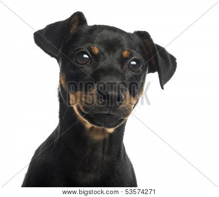 Close-up of a Pinscher, isolated on white
