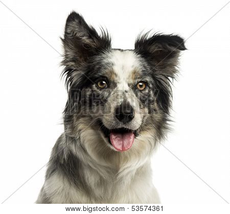 Close-up of a Border collie panting, isolated on white