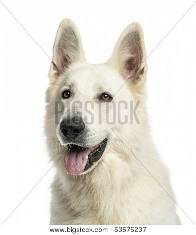 Close up of a White Swiss Shepherd Dog panting, isolated on white