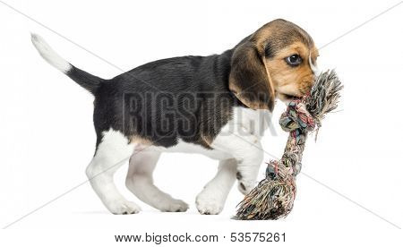 Side view of a Beagle puppy playing with a rope toy, isolated on white