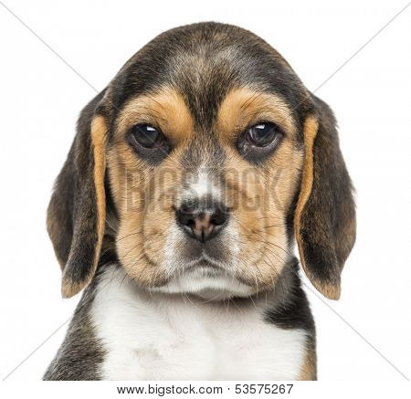 Close-up of a Beagle puppy looking at the camera, isolated on white