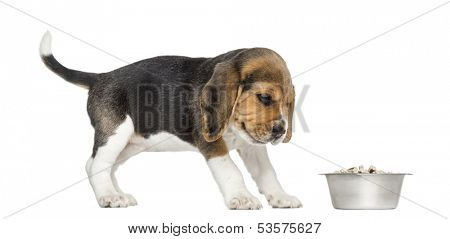 Side view of a Beagle puppy looking at his bowl with disgust, isolated on white