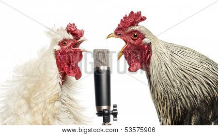 Two roosters singing at a microphone, isolated on white