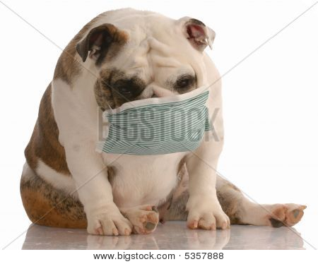 Bulldog With Medical Mask