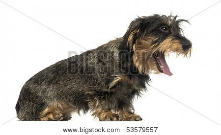 Side view of a Teckel yawning, isolated on white