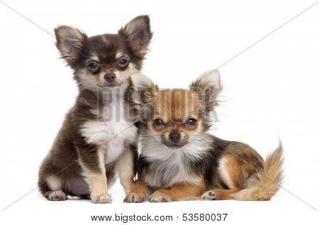 Two Chihuahuas next to each other, isolated on white