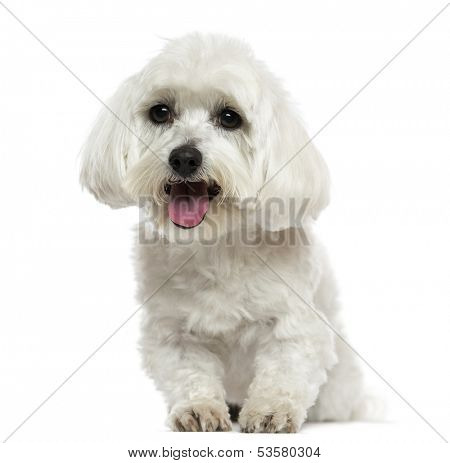 Front view of a Maltese panting, isolated on white