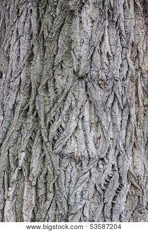 Populus bark texture