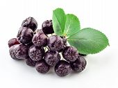 stock photo of aronia  - Aronia - JPG