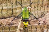 stock photo of moth  - Close up of pellucid hawk moth or greenish hyaline hawk moth  - JPG