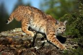 stock photo of bobcat  - Closeup of an adult Bobcat climbing down a rocky ridge - JPG