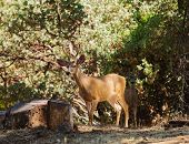 picture of black tail deer  - Pair of male black - JPG