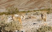 stock photo of coyote  - Coyotes in Death Valley National Park - JPG