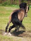 image of buckskin  - Jumping buckskin welsh pony - JPG