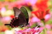 stock photo of cosmos flowers  - butterflies flying in cosmos flowers for adv or others purpose use - JPG