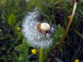 stock photo of dandelion seed  - close - JPG