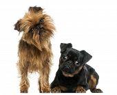 stock photo of interrogation  - Two Griffon Bruxellois with interrogative look - JPG