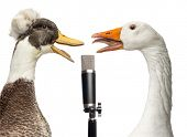 stock photo of crested duck  - Duck and goose singing into a microphone - JPG