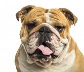 image of bulldog  - Close - JPG