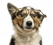 stock photo of collie  - Close - JPG