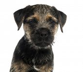 stock photo of border terrier  - Close - JPG