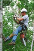 foto of arborist  - Man in tree with ropes and chain saw getting ready to cut tree - JPG