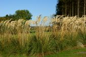 stock photo of pampa  - Cortaderia selloana commonly known as Pampas Grass - JPG